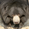Pinky, the Sloth Bear at Agra Bear Sanctuary in India.