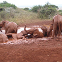 David Sheldrick orphaned elephants Kenya.