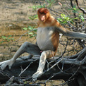 Proboscis Monkey Bako National Park Borneo.