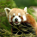 Red Panda, Yele Nature Reserve, Sichuan, China.