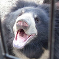 Sloth Bear at Bannerghatta Bear Sanctuary saying hello at his food truck!