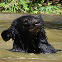 Asiatic Black Bear enjoying a swim!