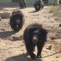 Ro London. Sloth Bears at Bannerghatta Bear Sanctuary.
